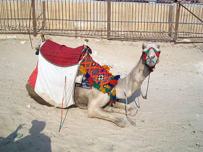 Photograph - Egypt - Camel by Munir Alawi