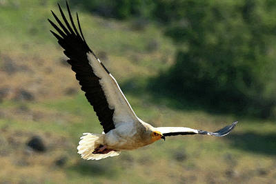 Photograph - Egyptain Vulture In Flight  by Cliff Norton