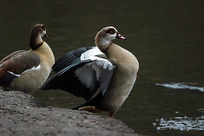 Photograph - Egyptian Geese by Matt Malloy