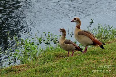Photograph - Egyptian Geese by Olga Hamilton