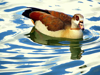 Photograph - Egyptian Goose 5 1112017 by Mark Lemmon