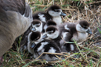 Bird Nest Photograph - Egyptian Goose Alopochen Aegyptiacus by Panoramic Images