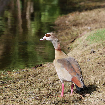 Photograph - Egyptian Goose By Pond by Carol Groenen