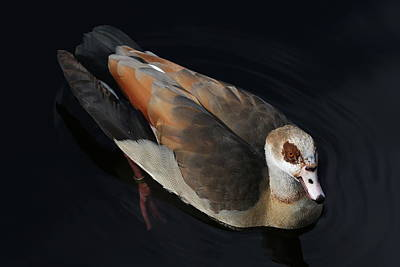 Photograph - Egyptian Goose by Debi Dalio