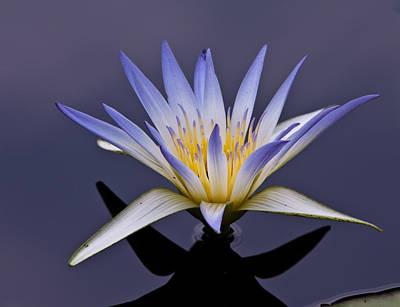 Nelumbo Nucifera Photograph - Egyptian Lotus by Louis Dallara
