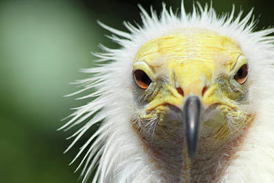 Photograph - Egyptian Vulture by David Stasiak