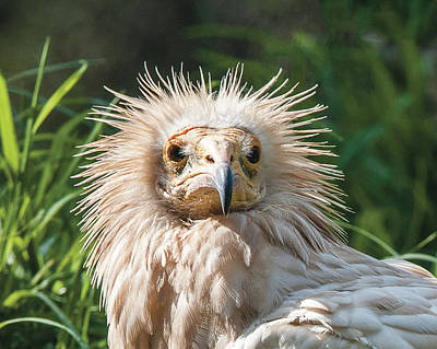 Photograph - Egyptian Vulture Headshot by William Bitman