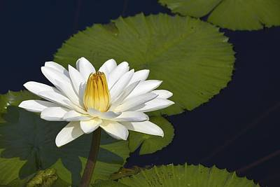 Photograph - Egyptian Waterlily by Tana Reiff