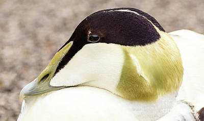 Photograph - Eider Duck by Colin Rayner