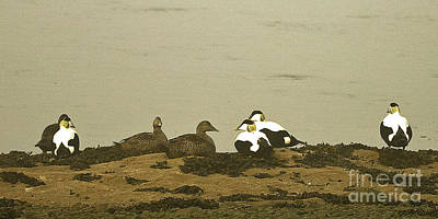 Photograph - Eider Duck On The Estuary by Liz Alderdice