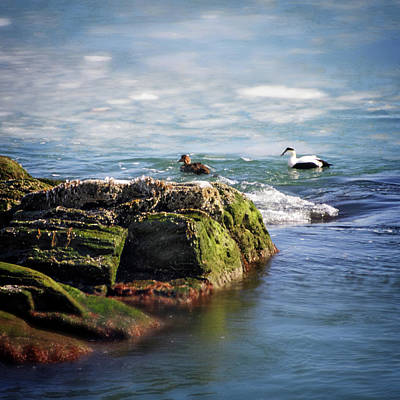 Photograph - Eider In Icy Waters by Vicki Jauron