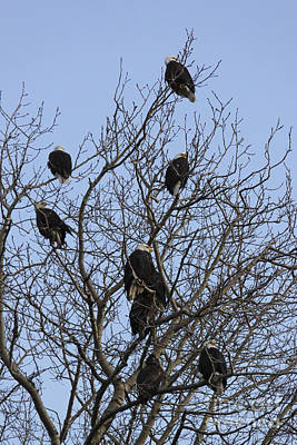 Kodiak Photograph - Eight Bald Eagles by Carolyn Brown