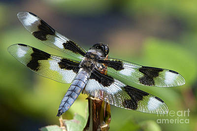 Eight-spotted Skimmer  Art Print by Sharon Talson