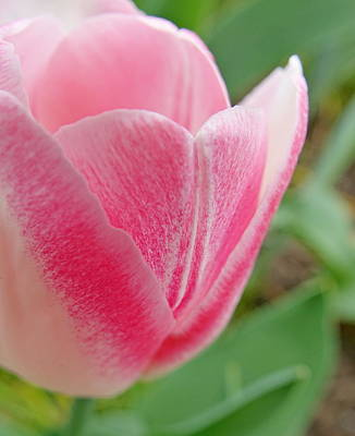 Photograph - Eileen's Tulip by Lori Pessin Lafargue