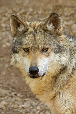 Mexican Wolf Photograph - El Lobo by Sandy Sisti