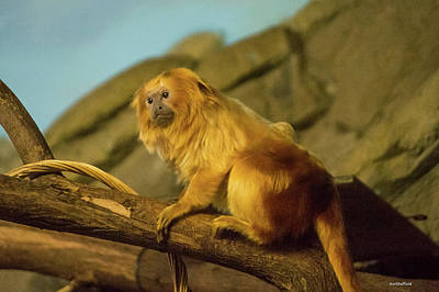 Photograph - El Paso Zoo - Golden Lion Tamarin by Allen Sheffield