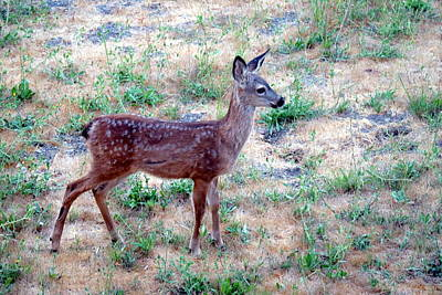 Photograph - El Sobrante Fawn Two by Joyce Dickens