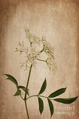 Photograph - Wild Elderberry Flowers by Diane Macdonald