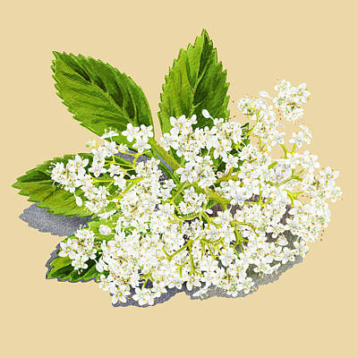 Painting - Elderberry Flowers  by Irina Sztukowski