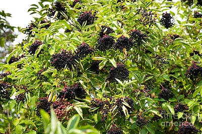 Elderberry Fresh Fruits Clusters On Plant  Art Print by Arletta Cwalina