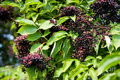 Elderberry Fruits Fresh Clusters On Plant  Art Print by Arletta Cwalina