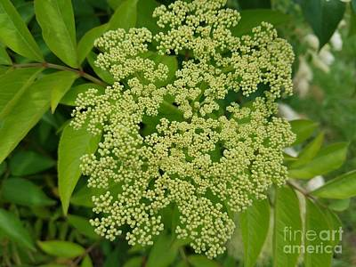 Photograph - Elderberry Green by Maria Urso