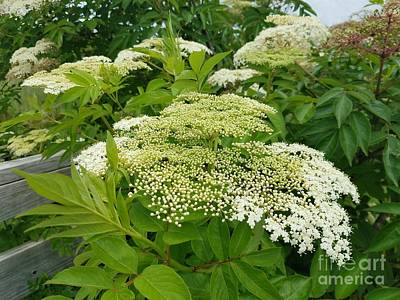Photograph - Elderberry by Maria Urso