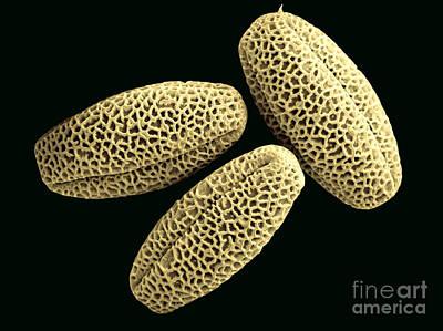 Elderberry Pollen Art Print by Scimat