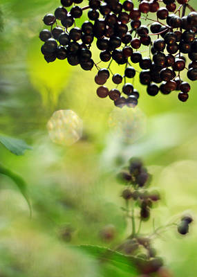 Photograph - Elderberry Shine by Rebecca Sherman