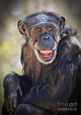 Photograph - Elderly Chimp Enjoying The Warm Summer Afternoon by Jim Fitzpatrick