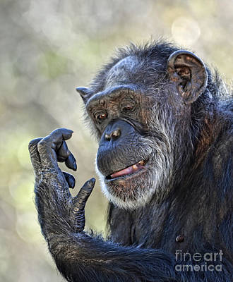 Photograph - Elderly Chimp Studying Her Hand II by Jim Fitzpatrick