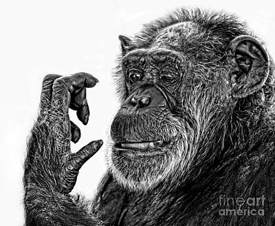 Photograph - Elderly Chimp Studying Her Hand IIi by Jim Fitzpatrick