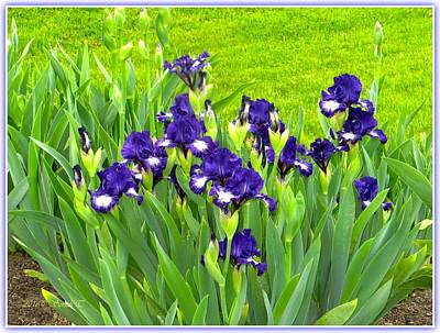 Electric Blue Irises Art Print by Sonali Gangane