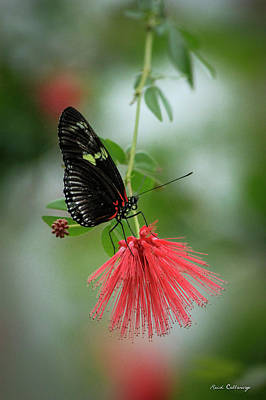 Idea Leuconoe Photograph - Elegance Cecil B Day Butterfly Center Art by Reid Callaway