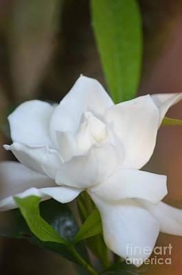 Photograph - Elegance - Gardenia by Maria Urso