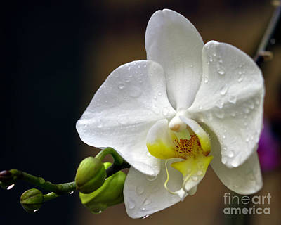 Photograph - Elegance In White by Ken Frischkorn