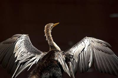 Anhinga Wall Art - Photograph - Elegant Anhinga by Kenneth Albin