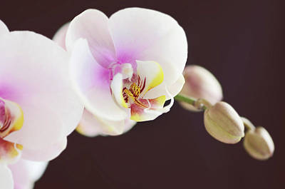 Moth Orchid Photograph - Elegant Beauty by Dhmig Photography
