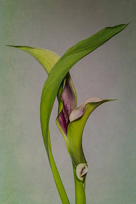 Photograph - Elegant Calla Buds by Patti Deters