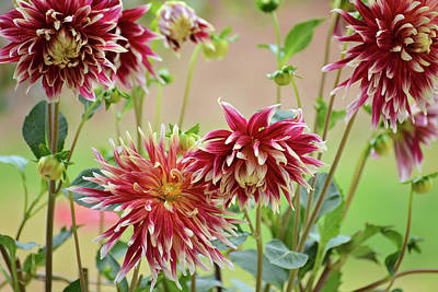 Photograph - Elegant Dahlias In The Garden by Lynn Bauer