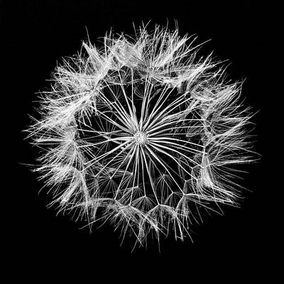 Photograph - Elegant Dandelion Art In Black And White by Vishwanath Bhat
