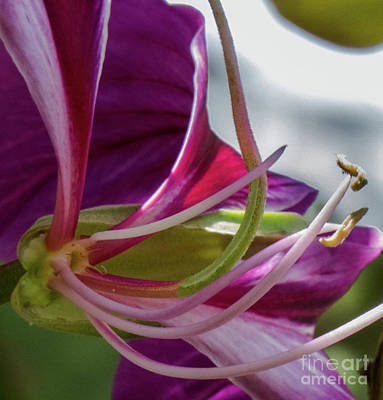 Photograph - Elegant Hawaiian Purple Flower  by Christy Garavetto