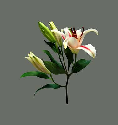 Elegant Lily And Buds Art Print