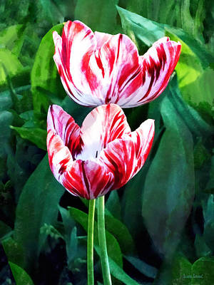 Photograph - Elegant Pink And White Striped Tulips by Susan Savad