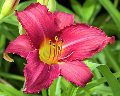Photograph - Elegant Rich Red Daylily by Kathy Clark