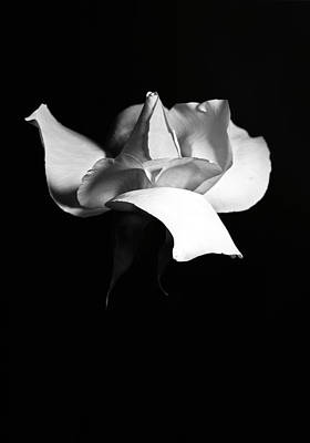 Photograph - Elegant Rose  by Elsa Marie Santoro