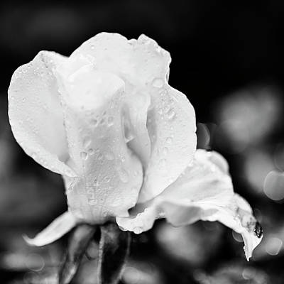 Photograph - Elegant Rose With Dew Drops In Monochrome by Vishwanath Bhat