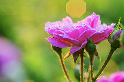 Photograph - Elegant Rose With Dew Drops by Vishwanath Bhat