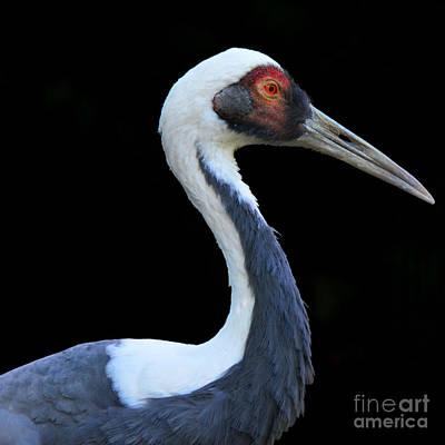 elegant Sandhill Crane Original