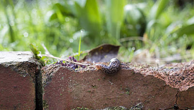 Photograph - Elegant Slug by Helga Novelli